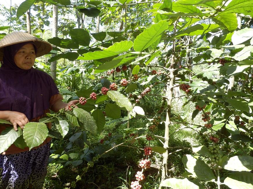 Piante Di Cacao : Caffè lelli
